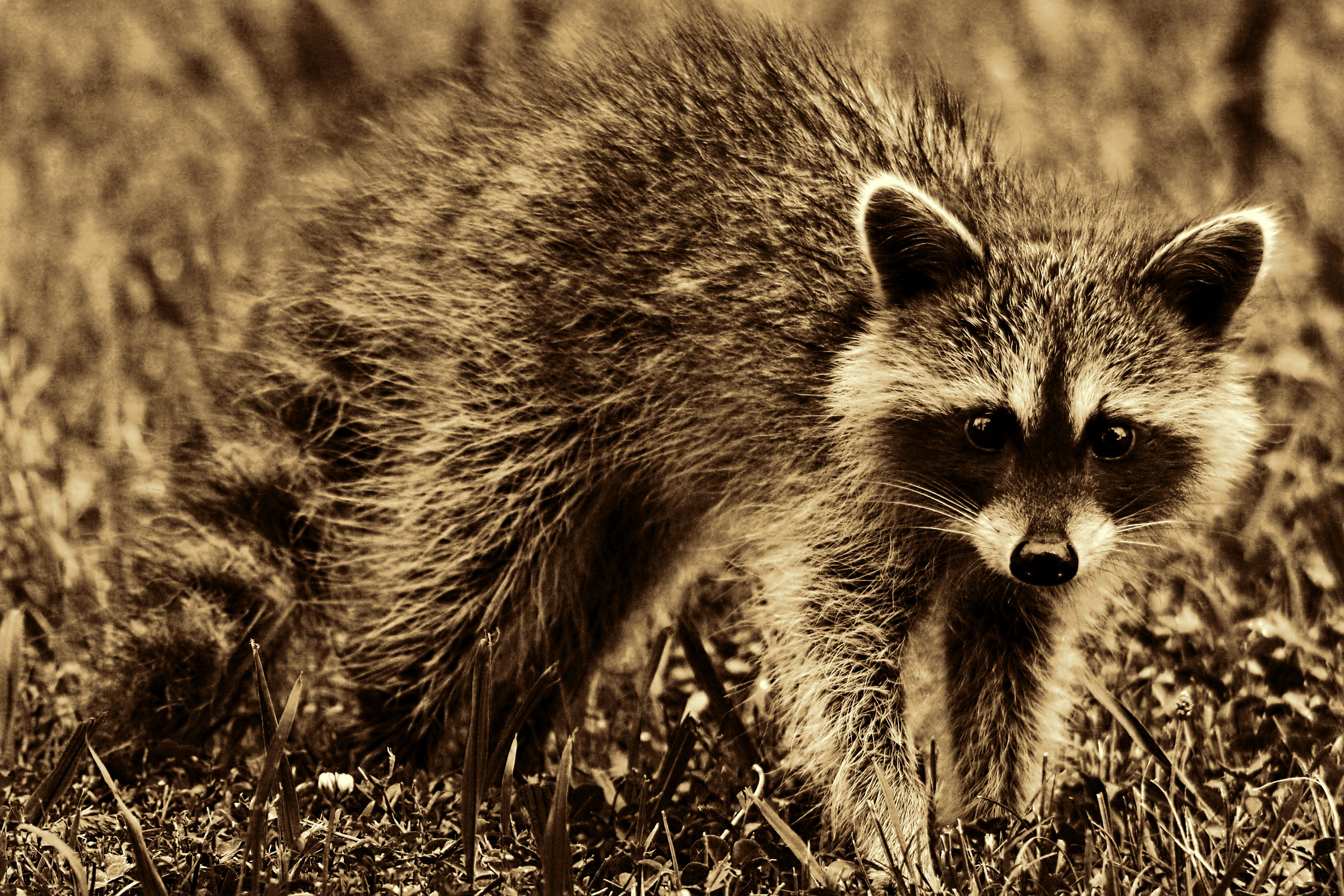 Selective Focus Photography White and Black Raccoon
