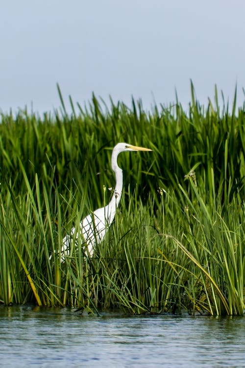 Photo of Great Egret Standing on Grass Near Body of Water