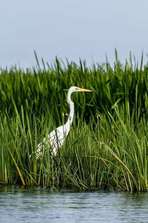 大白鷺, 水, 水體, 沼泽地 的 免费素材照片