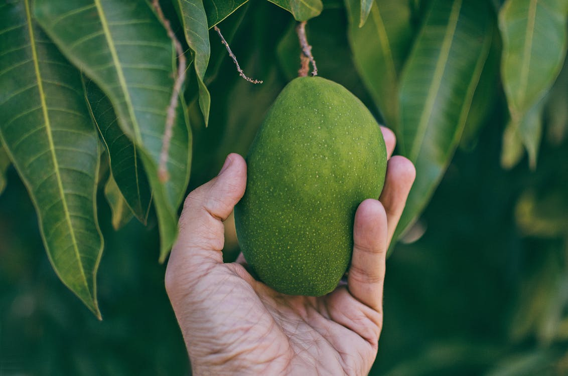 Close-up Photo of Person Holding Unripe Mango