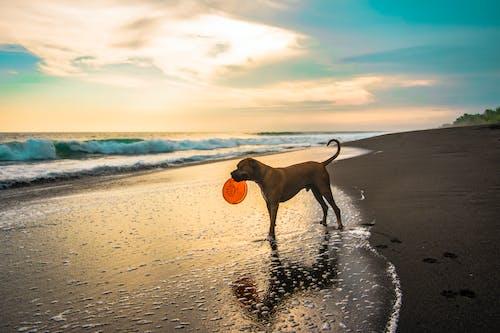 Short-coated Brown Dog on Seashore