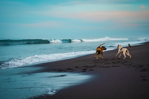 Free stock photo of beach, dogs, playing, sand