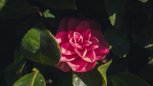 Darmowe zdjęcie z galerii z czerwony, kwiat, kwiatowy, liście