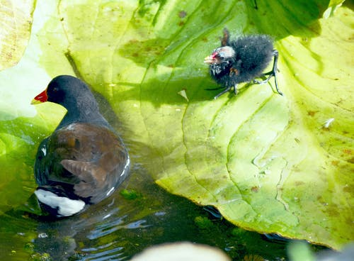Free stock photo of birds, coot, hen and chick, moorhen