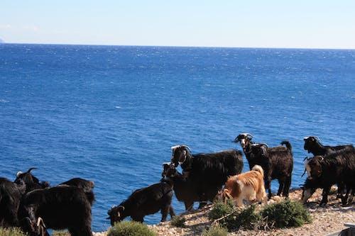 Foto profissional grátis de cabras, finja, mar, peru