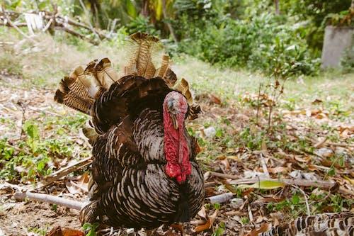 Photo of Turkey on Grass