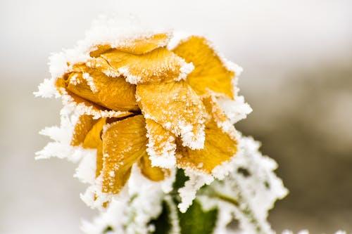 Ảnh lưu trữ miễn phí về băng, băng giá, cận cảnh, cánh hoa
