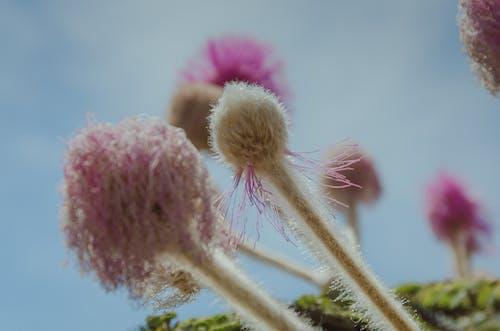 含羞草pudica, 塞拉多, 巴西, 廠 的 免費圖庫相片