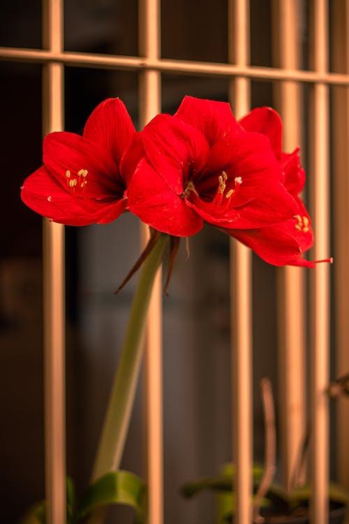 Δωρεάν στοκ φωτογραφιών με αγριολούλουδο, καλοκαιρινό λουλούδι, κόκκινο λουλούδι, λουλουδιασμένος