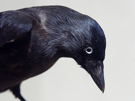 Free stock photo of bird, black, beak, preserve
