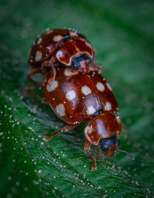 Kostnadsfri bild av insekt, makro, nyckelpiga
