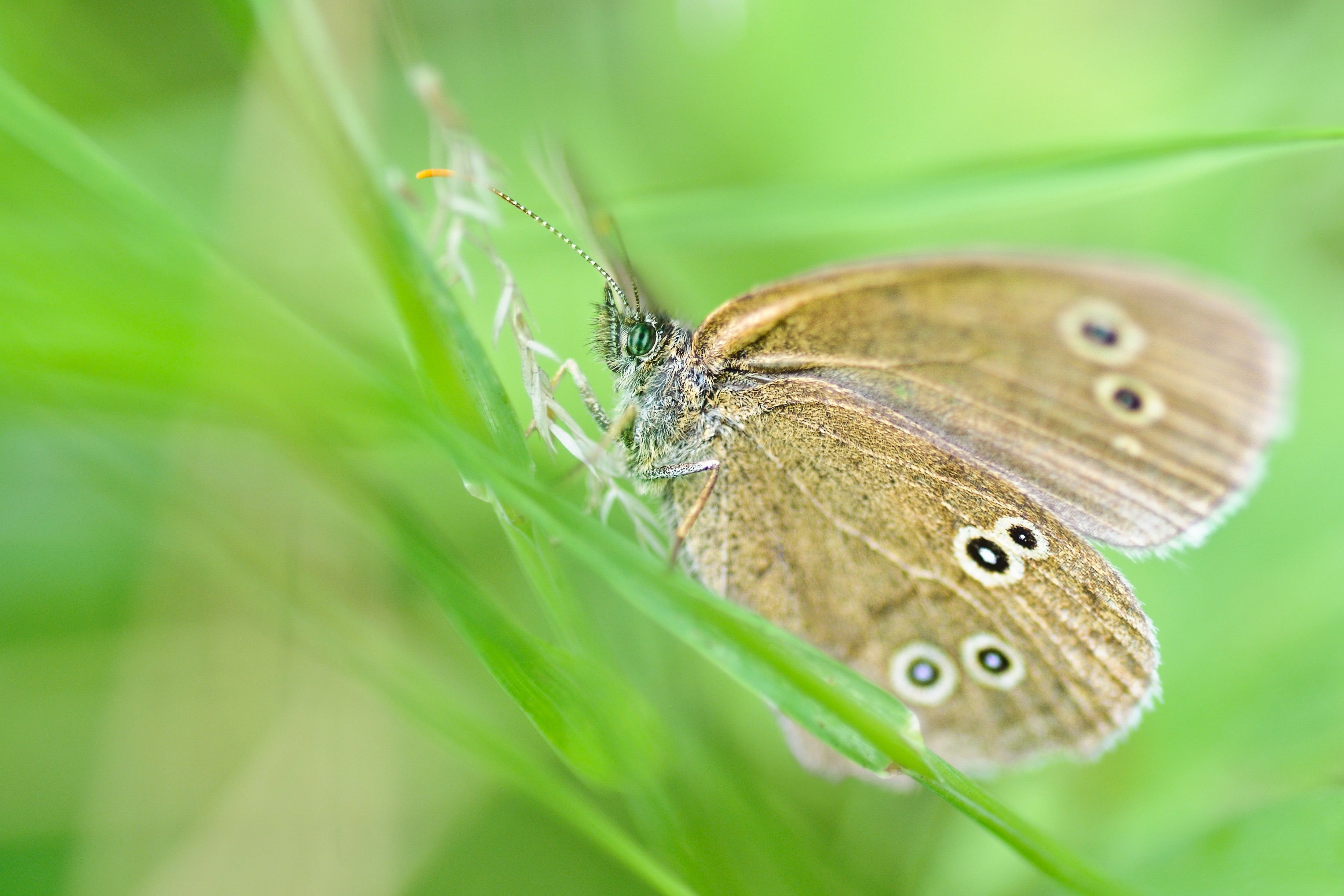 Free stock photo of green, insect, macro, butterfly
