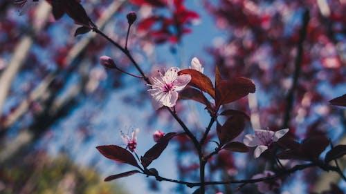 Darmowe zdjęcie z galerii z kwiat, kwiat wiśni, kwiatowy, kwitnąć