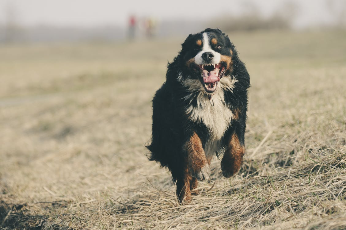 Bernese Mountain Dog Running on Grass Field