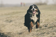 field, animal, dog