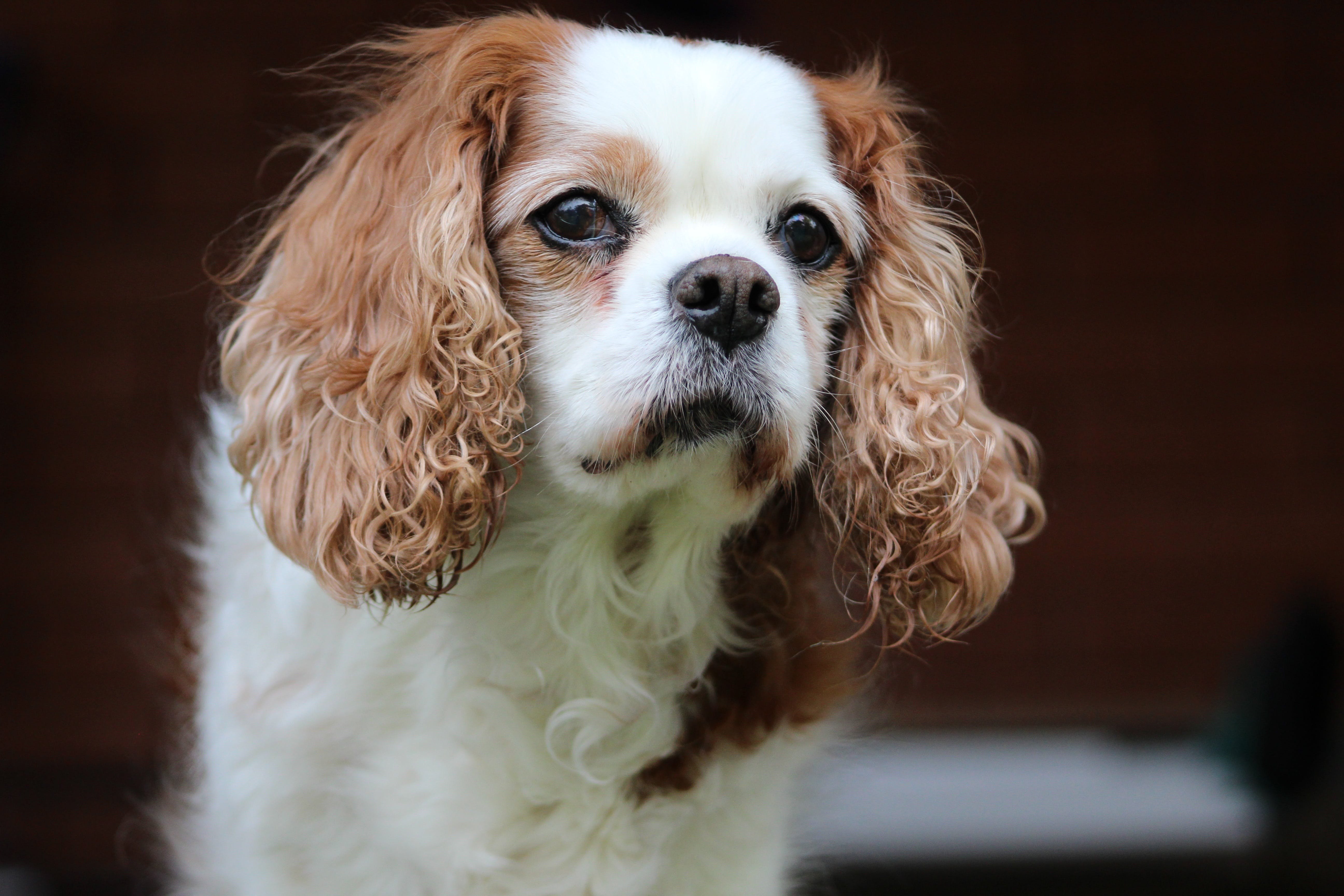 Close-up Photography of Blenheim Cavalier King Charles Spaniel