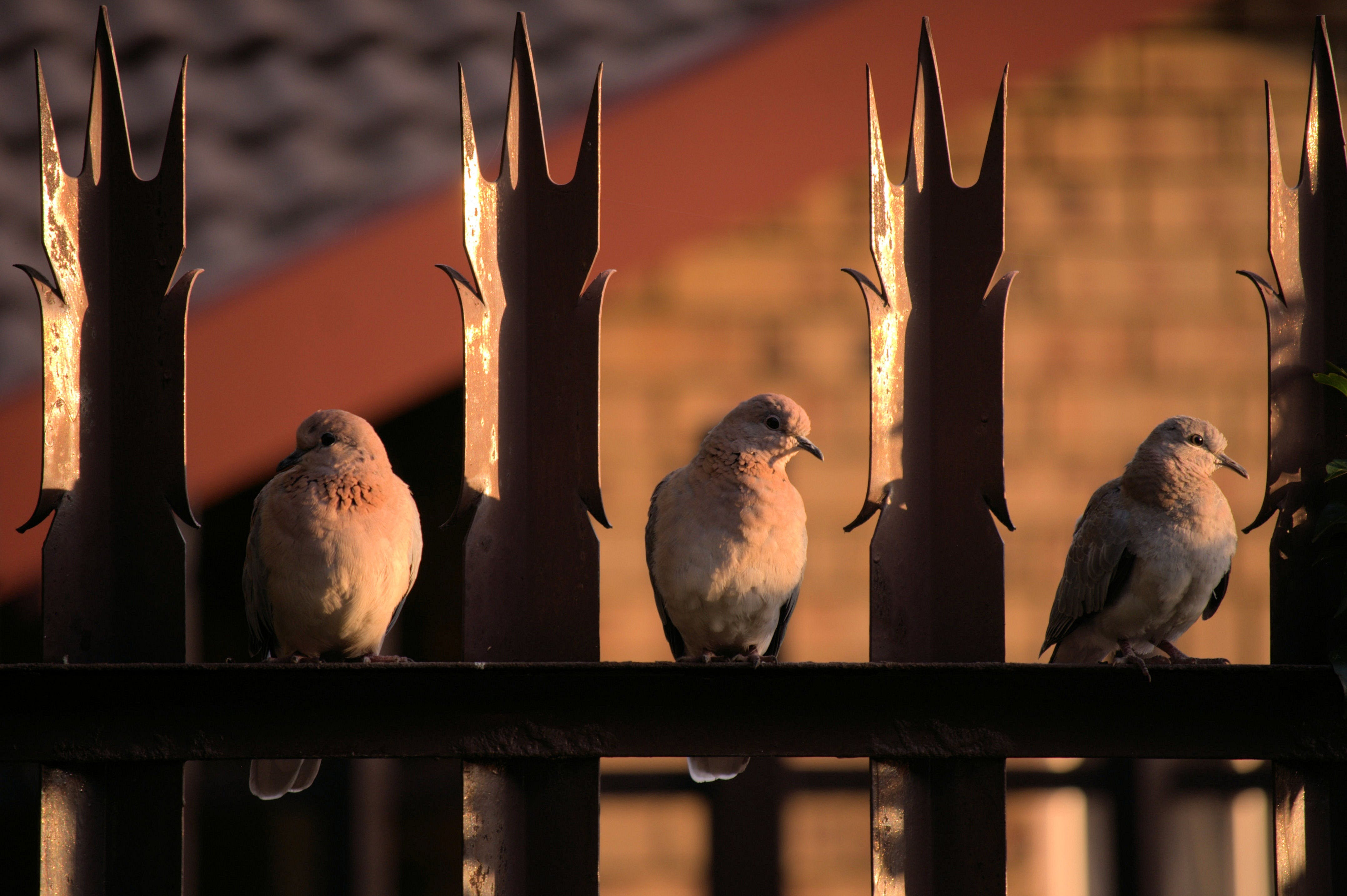 Free stock photo of birds, doves, pigeons, feathers
