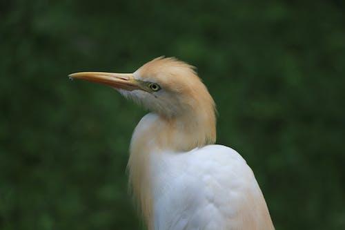Fotobanka sbezplatnými fotkami na tému detailný záber, divočina, dobytok biely, vták