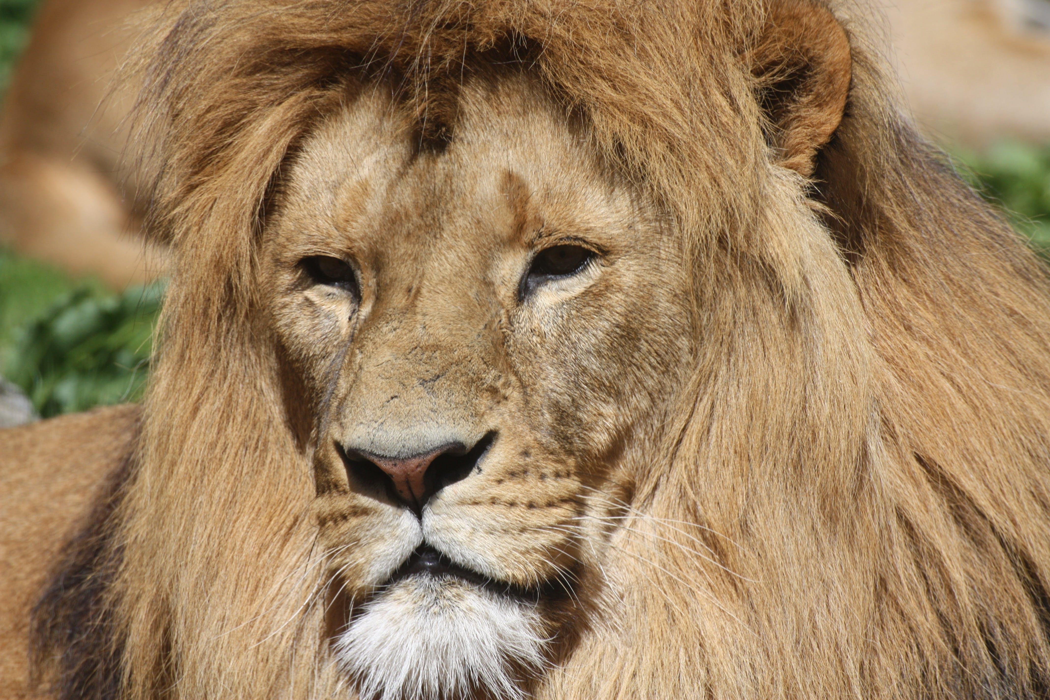Free stock photo of animals, lion, lion's mane