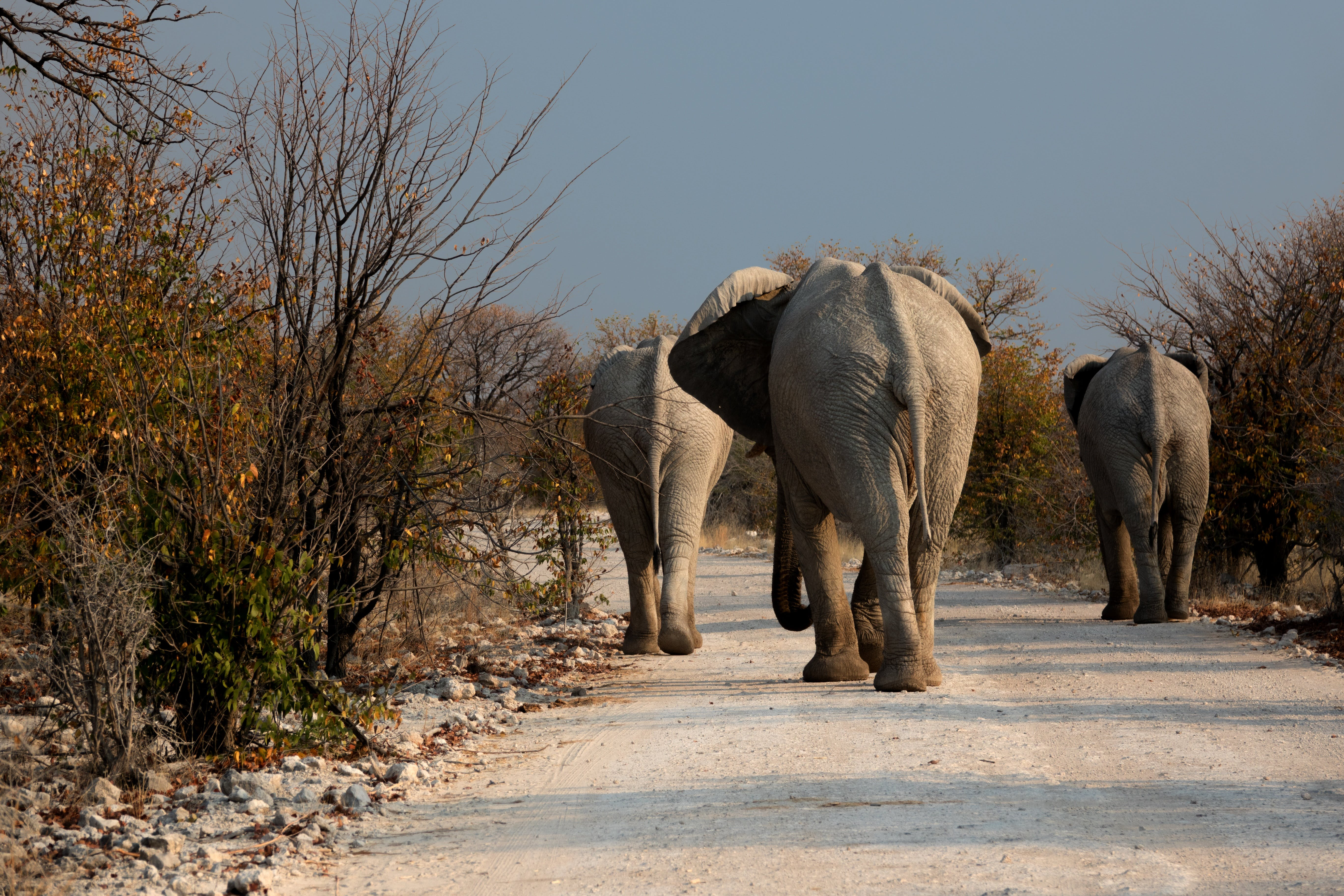 Free stock photo of road, wilderness, drought, elephant