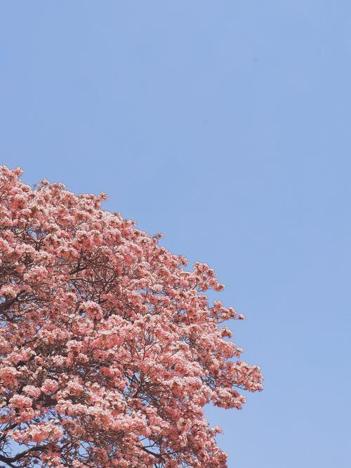 Photo Of Pink Tree During Daytime