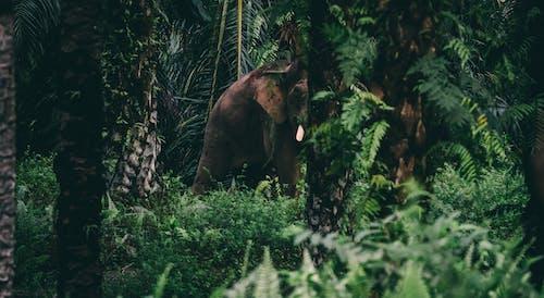 Δωρεάν στοκ φωτογραφιών με άγρια φύση, Ασία, ελέφαντα ταύρων, ελέφαντας