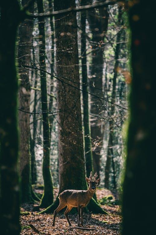 Δωρεάν στοκ φωτογραφιών με άγρια φύση, δέντρα, ελάφι, ζώο