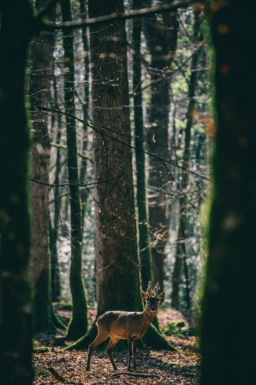 Deer In The Middle Of The Forest