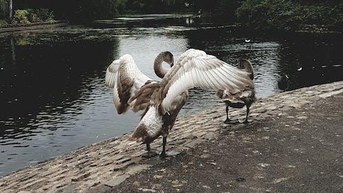 Foto d'estoc gratuïta de ales, animal, cigne, cignes