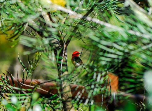 คลังภาพถ่ายฟรี ของ ต้นไม้, นก, นกสีแดง, สีเขียว