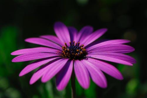 คลังภาพถ่ายฟรี ของ การถ่ายภาพมาโคร, ดอกไม้สีม่วง, พื้นหลังสีเขียว, ภาพถ่ายมาโคร
