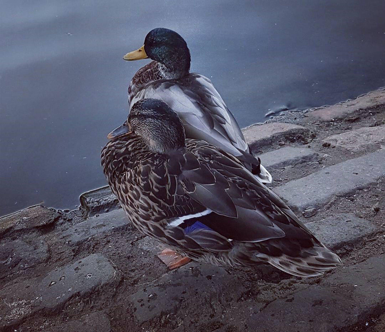 Free stock photo of animals, birds, ducks, lake