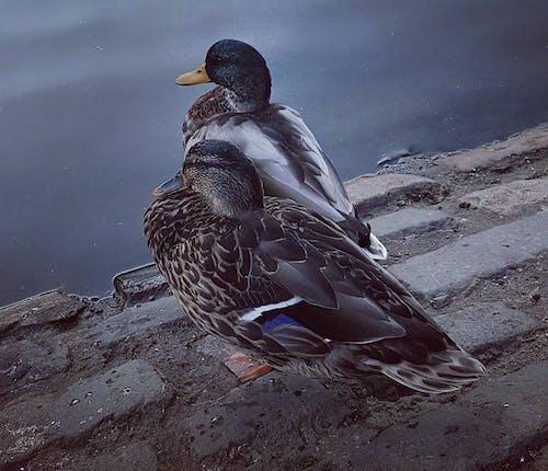 Безкоштовне стокове фото на тему «вода, качки, парк, тварини»