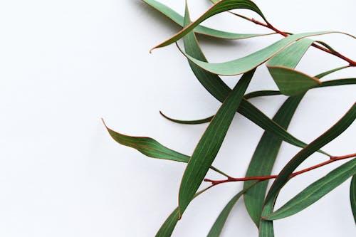 Бесплатное стоковое фото с белый, белый фон, зеленые листья, зеленый