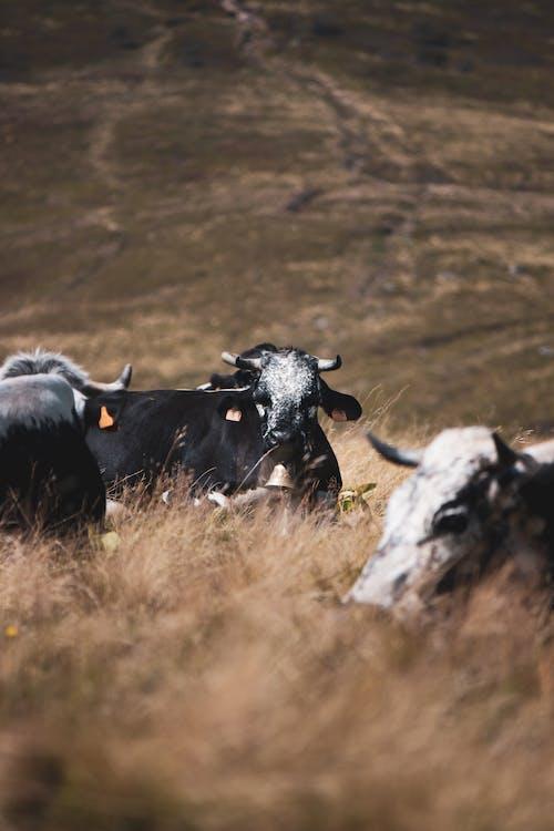 Ilmainen kuvapankkikuva tunnisteilla lehmä, lehmän vuori