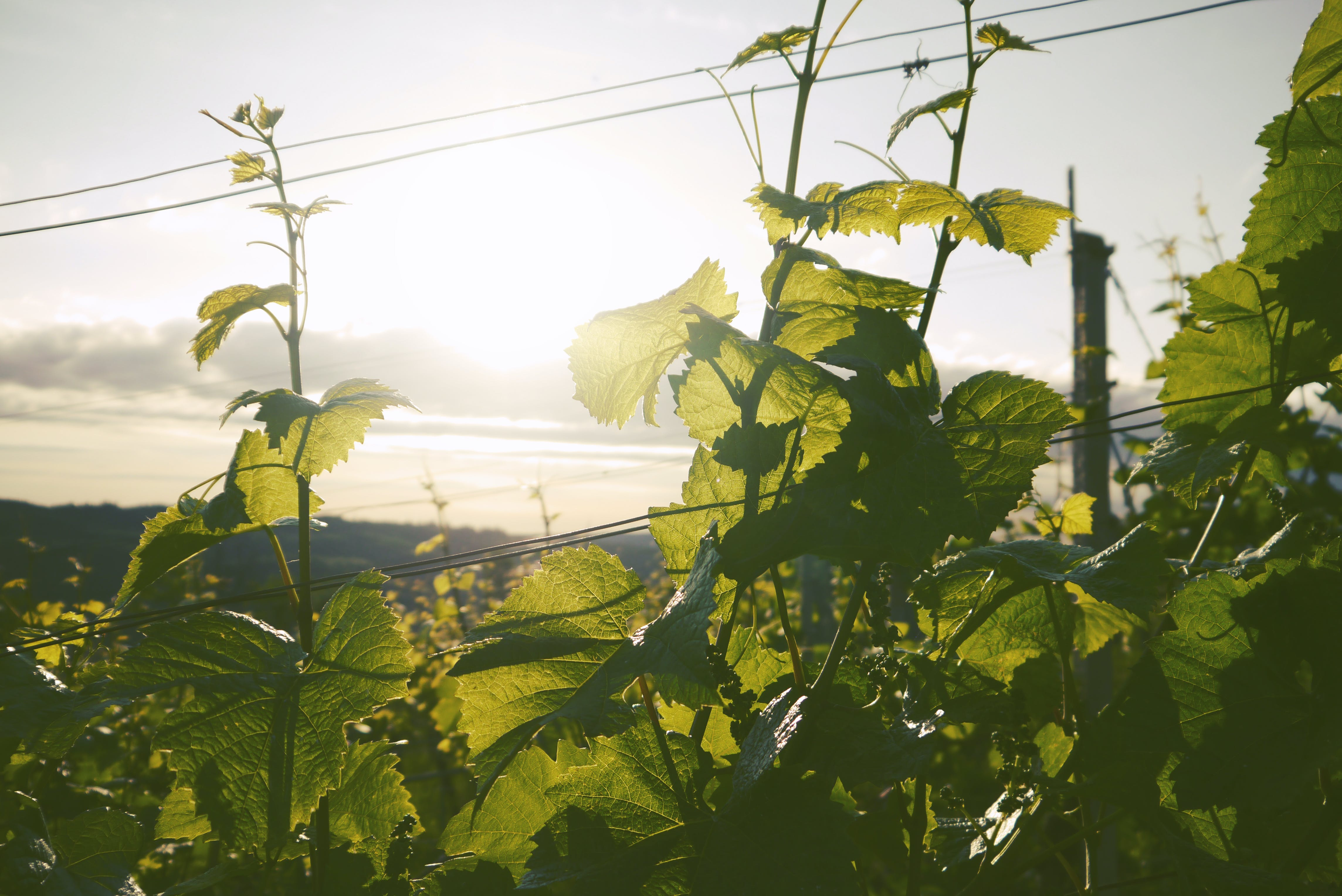Green Leafed Plant during Golden Hour