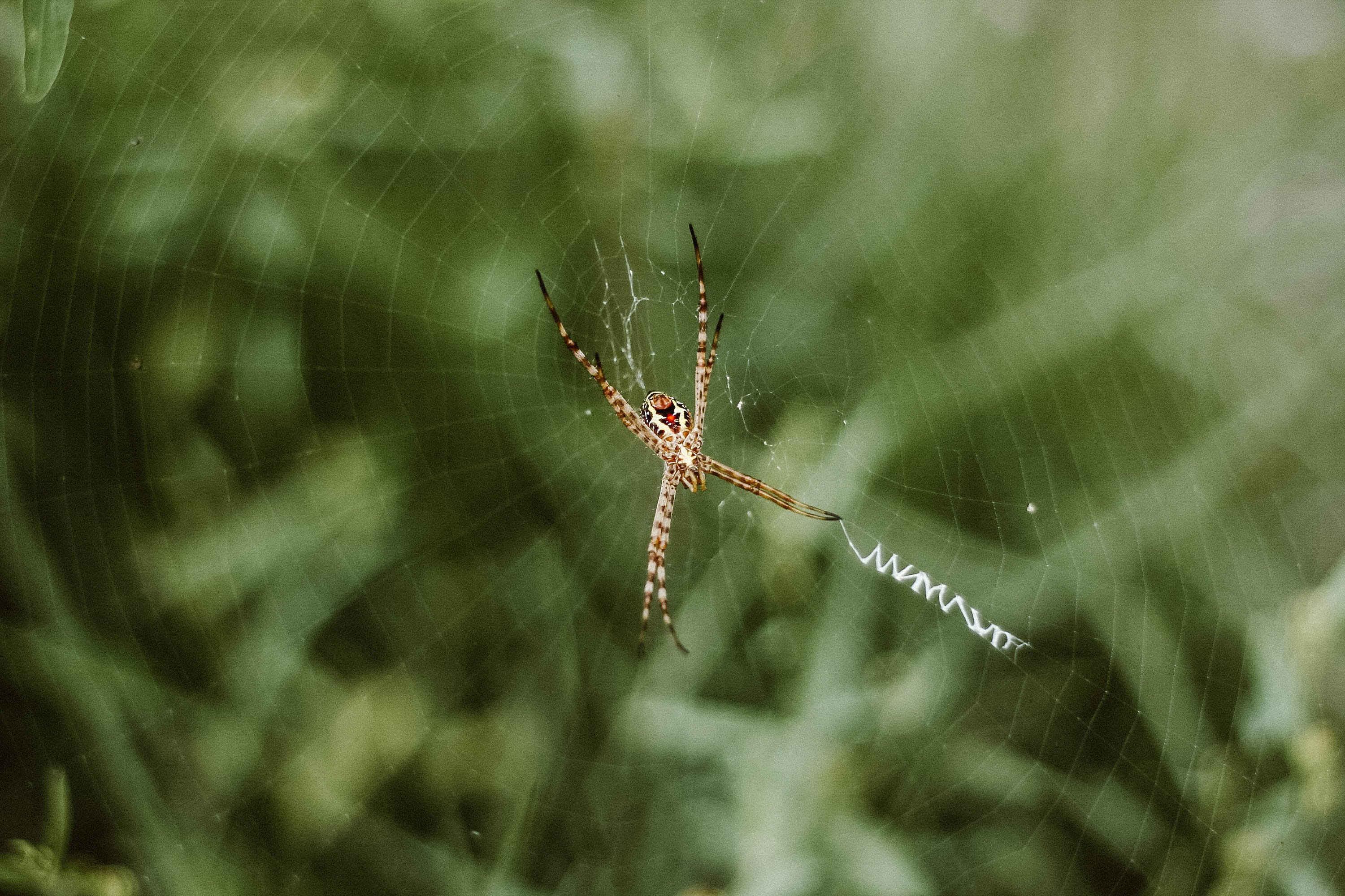 Brown Argiope Spider on Web Selective Focus Photography