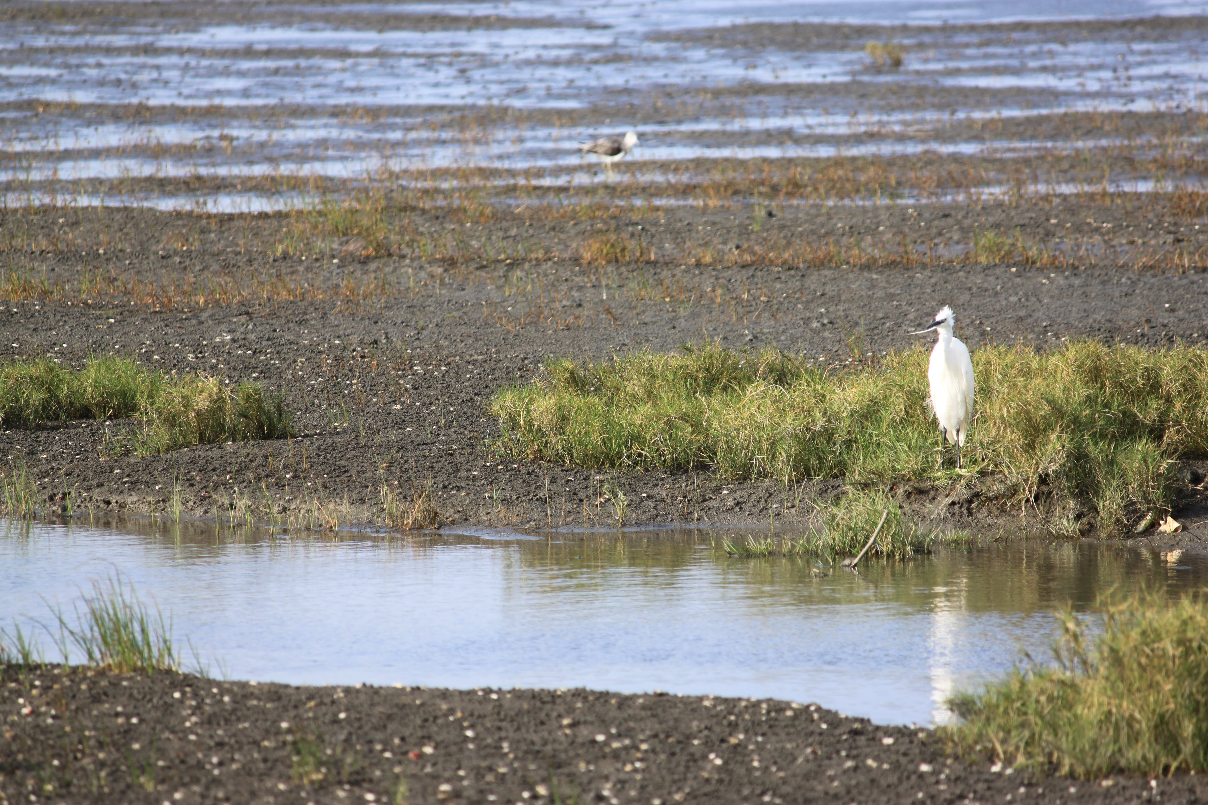 Free stock photo of gaomei wetlands, Little egret, Taichung, taiwan