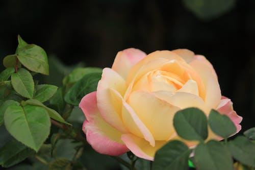 Бесплатное стоковое фото с лепестки, флора, цвести, цветение