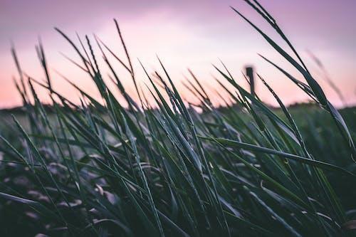 alan, bitkiler, buğday, buğday tarlası içeren Ücretsiz stok fotoğraf