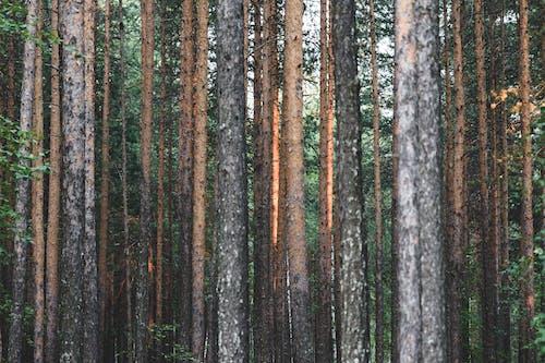 Photos gratuites de à feuilles persistantes, aboiement, arbres, conifère