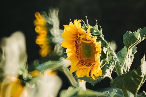 Ilmainen kuvapankkikuva tunnisteilla auringonkukka, auringonvalo, kukka, lehdet