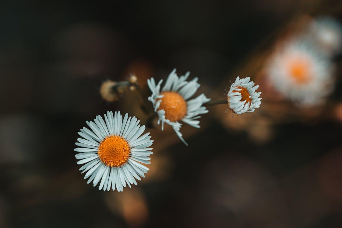 Selective Focus Photo of White Petaled Bellis Flowers