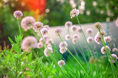 blowballs, 夏天, 夏天的花, 植物園 的 免费素材照片