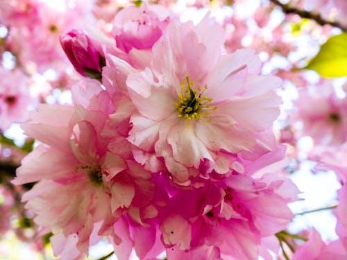 Бесплатное стоковое фото с розовый, цветочное дерево