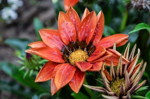 Foto d'estoc gratuïta de color a l'aigua, després de la pluja, flor bonica, jardí de flors