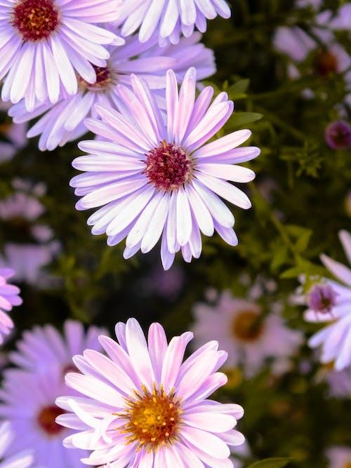 Foto d'estoc gratuïta de flor bonica, jardí de flors, margarides, morat