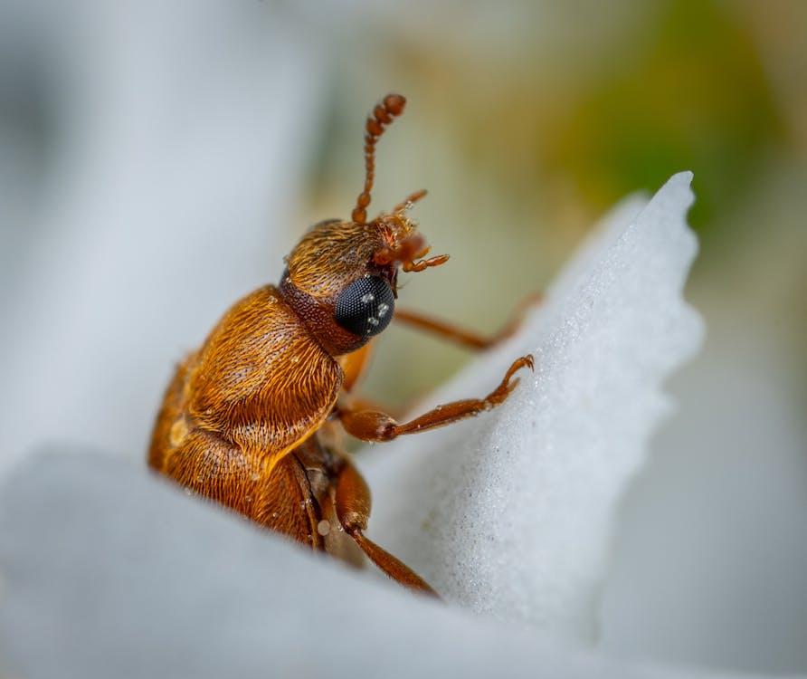 antena, biologia, chrząszcz