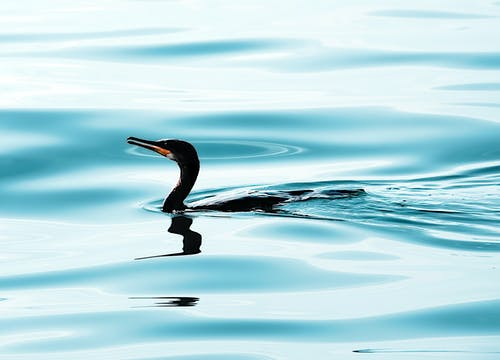 Double-crested Cormorant on Water