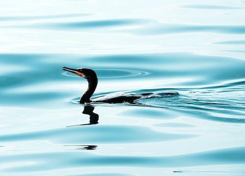 Základová fotografie zdarma na téma fotografování zvířat, jezero, kormorán dvojitý, modrá